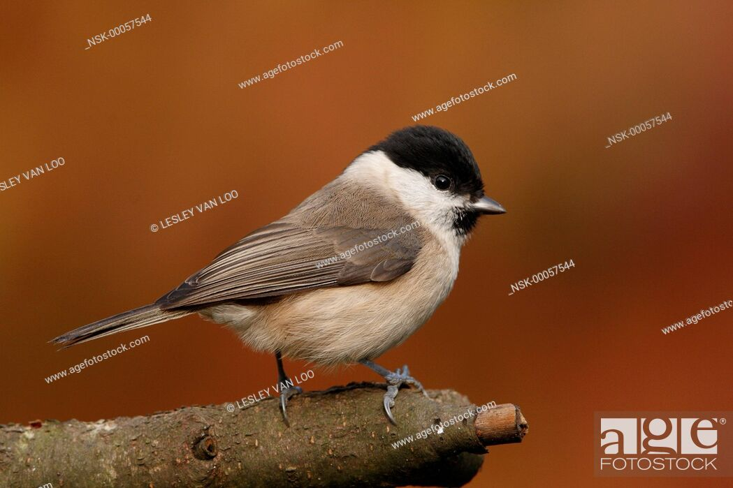 Imagen: Marsh Tit (Poecile palustris) perched, The Netherlands, Utrecht.