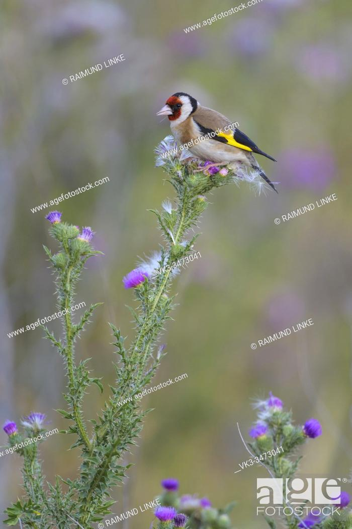 Photo de stock: European Goldfinch, Carduelis carduelis.