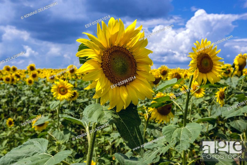 Stock Photo: Field of sunflowers in Riscani District of Moldova.