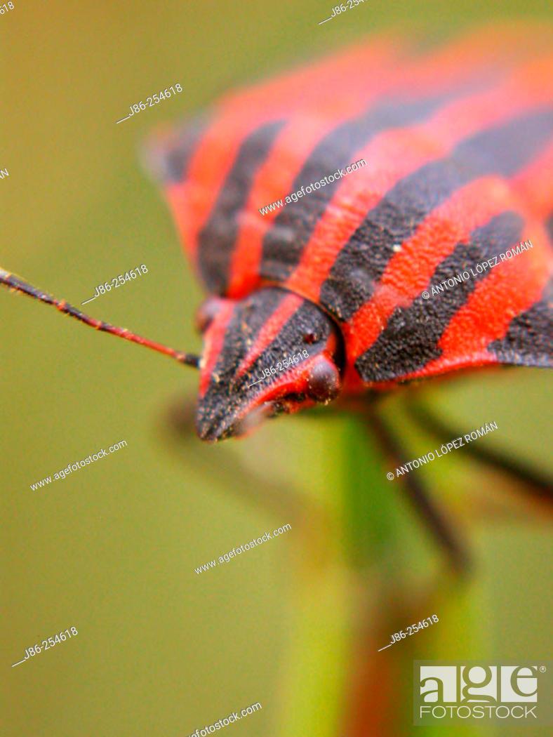 Stock Photo: Bedbug (Graphosoma lineatum).