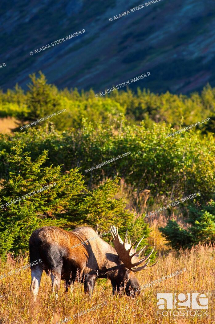 Stock Photo: Large bull moose standing in thick brush near Powerline Pass in the Chugach State Park, near Anchorage in Southcentral Alaska, on a sunny fall day.