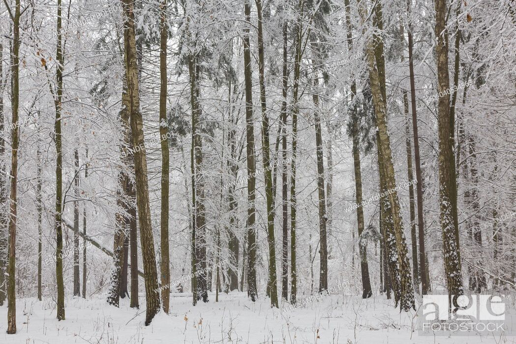 Stock Photo: Winter landscape of natural forest with birch and hornbeam trees snow wrapped, Bialowieza Forest, Poland, Europe.
