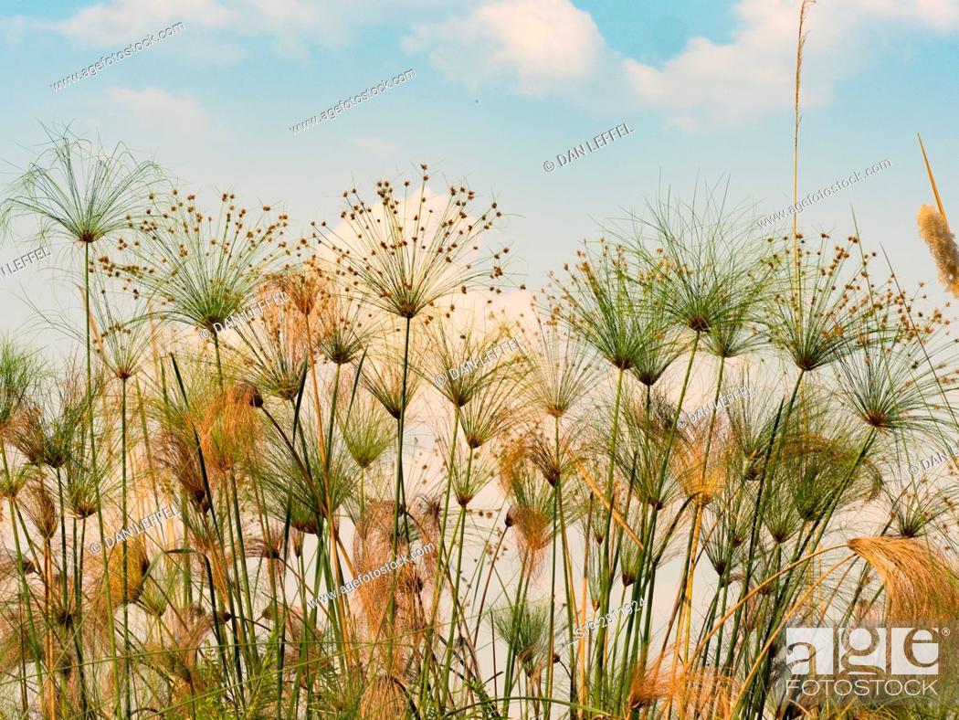 Imagen: Botswana. Papyrus.