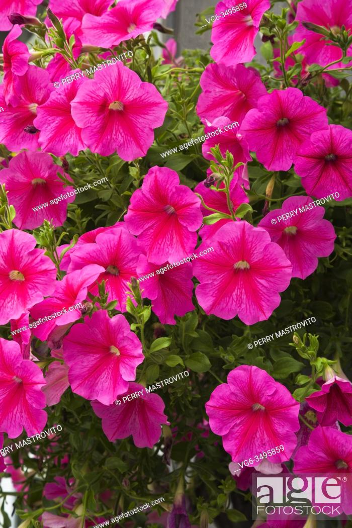 Stock Photo: Purple Petunia flowers in hanging basket in early summer, Quebec, Canada.