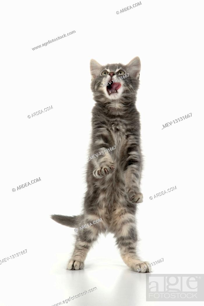 Stock Photo: CAT. silver grey kitten ( 12 weeks old ) with paws up, studio, white background.