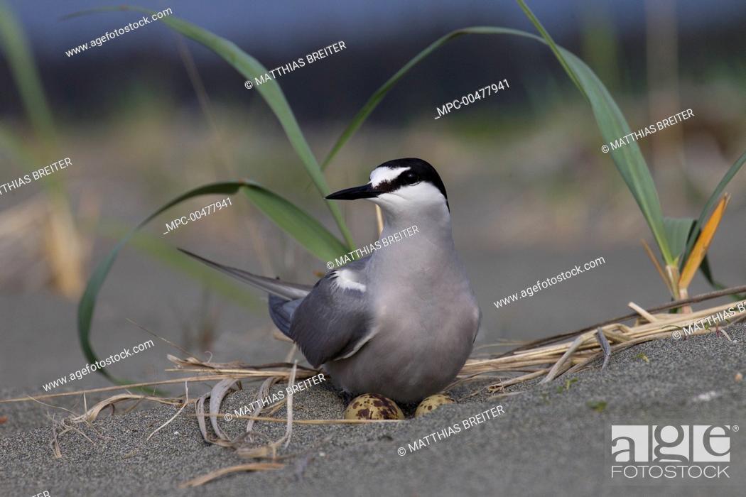 Stock Photo: Aleutian Tern (Onychoprion aleuticus) on ground nest with single egg, Yakutat, Alaska.