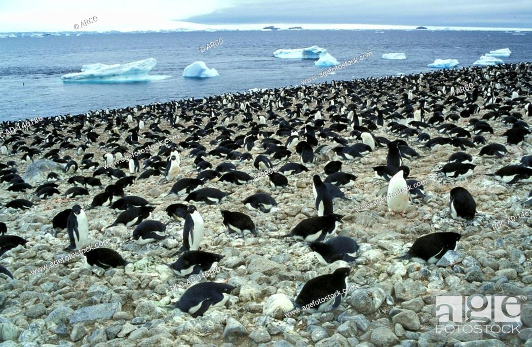 Stock Photo: Adelie Penguins Paulet Island Antarctica Pygoscelis adeliae.