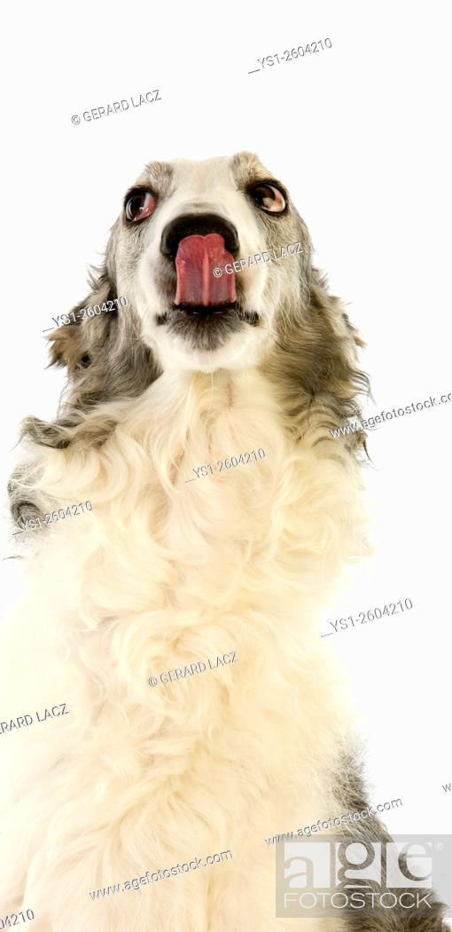 Imagen: Borzoi or Russian Wolfhound, Portrait of Female licking its Nose against White Background.