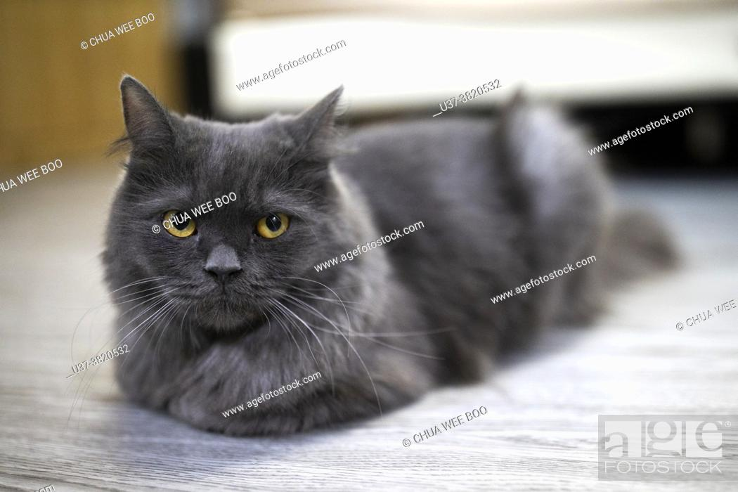 Stock Photo: Portrait of a grey cat with yellow eyes.