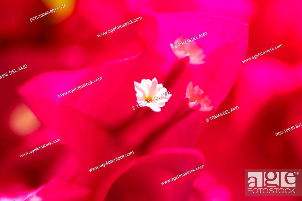 Stock Photo: Extreme close-up of bright pink bougainvillaea, focus on white flower in center.
