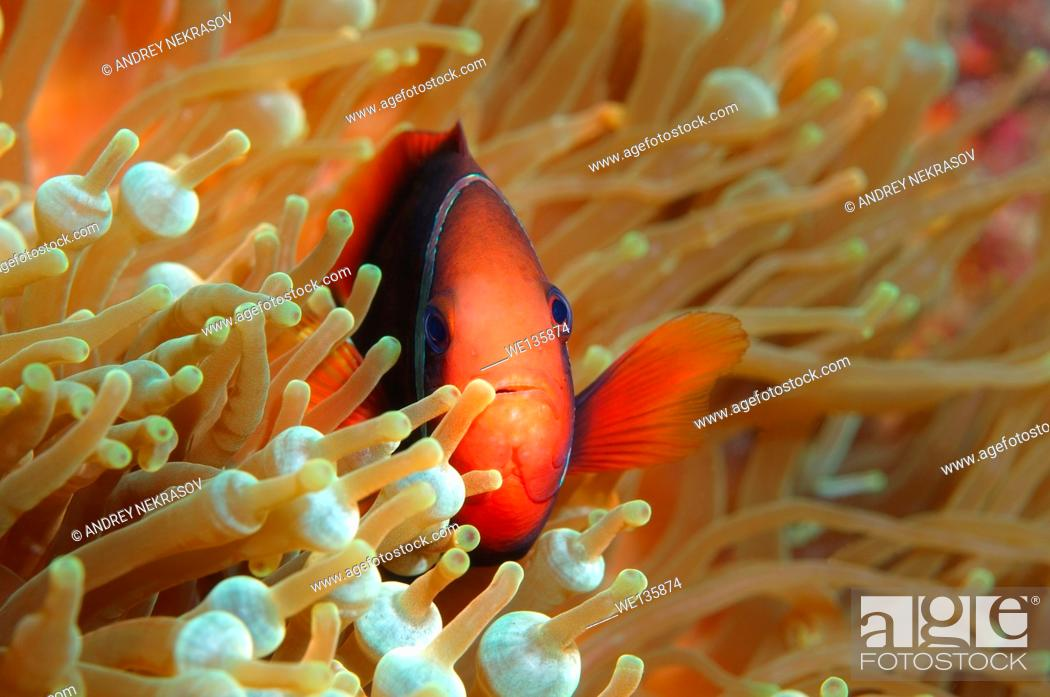 Stock Photo: Cinnamon clownfish or Fire clownfish (Amphiprion melanopus), Redang Island, Malaysia, Southeast Asia.