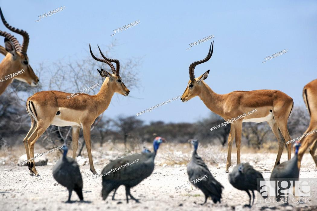 Stock Photo: Male Impalas facing off at Onkolo Hide, Onguma Game Reserve, Namibia, Africa.