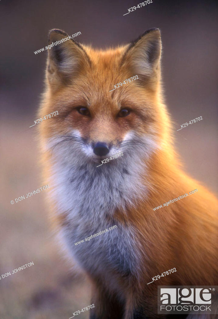 Stock Photo: Red fox portrait in early spring. Lively. Ontario. Canada.