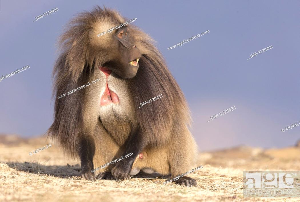 Stock Photo: Africa, Ethiopia, Rift Valley, Debre Libanos, Gelada or Gelada baboon (Theropithecus gelada), dominant male.alpha male.