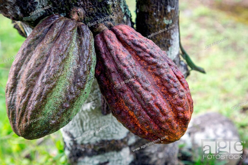 Stock Photo: COCOA PODS ON THE TRUNK OF A CACAO TREE, MARTINIQUE, FRENCH ANTILLES, FRANCE.