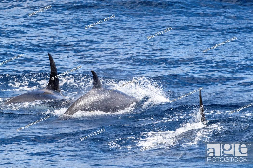Stock Photo: Adult Type D (sub-Antarctic) killer whale (Orcinus orca), surfacing in the Drake Passage, Antarctica, Polar Regions.
