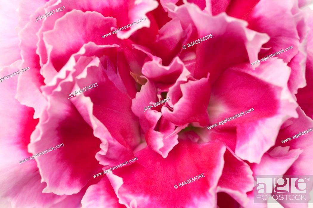 Stock Photo: Carnation, close-up.