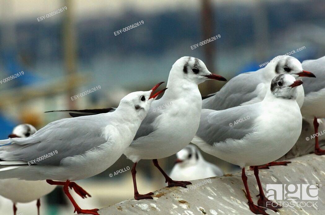 Stock Photo: Common Black-headed Gull, Larus ridibundus in winter plumage.