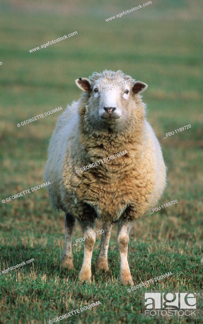 Stock Photo: Sheep Standing in a Field.