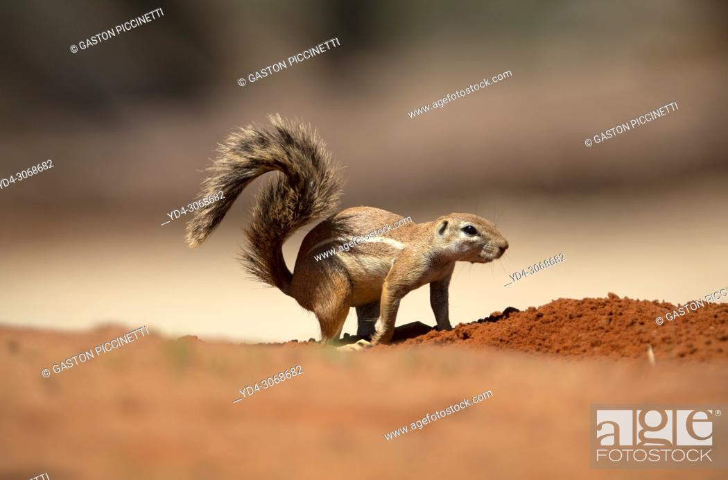 Stock Photo: Ground Squirrel (Xerus inauris), Kgalagadi Transfrontier Park, Kalahari desert, South Africa/Botswana. .