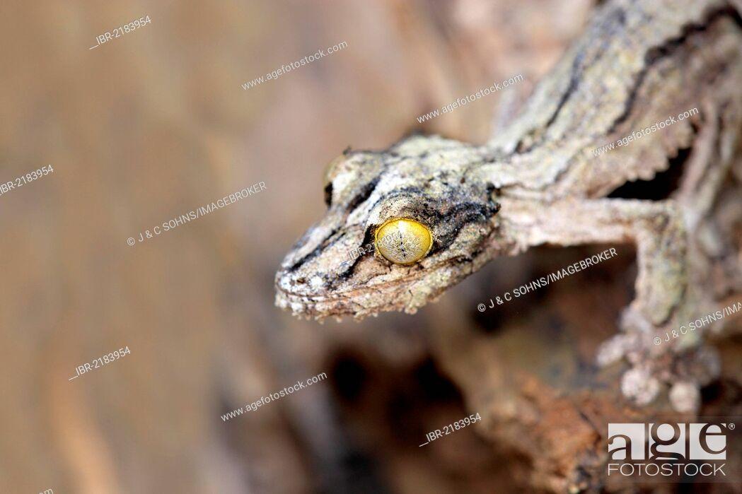 Stock Photo: Mossy Leaf-tailed Gecko (Uroplatus sikorae), Madagascar, Africa.