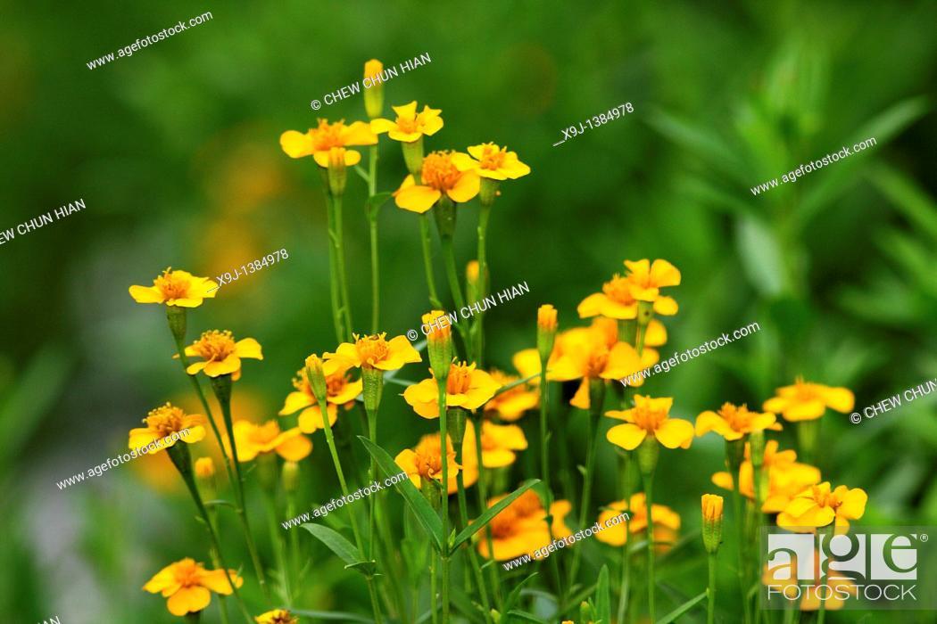Stock Photo: Colorful flowers at Borneo Highlands Resorts, Kuching, Sarawak, Malaysia.