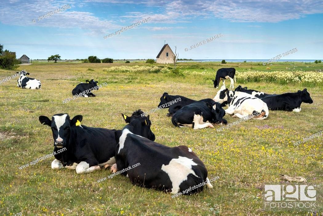 Stock Photo: Cows on pasture.