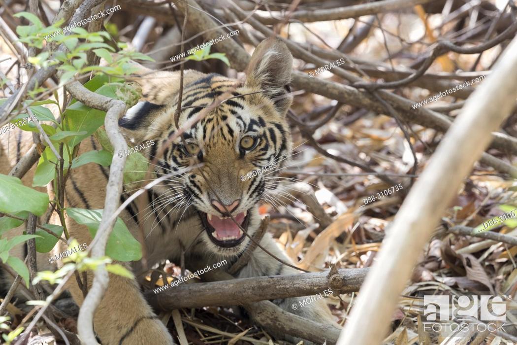Stock Photo: Asia, India, Maharashtra, Tadoba Andhari Tiger Reserve, Tadoba national park, Bengal tiger (Panthera tigris tigris), young.
