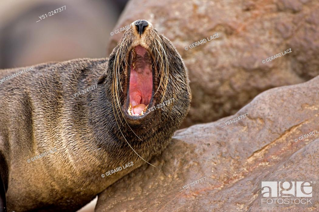 Stock Photo: South African Fur Seal, arctocephalus pusillus, Female Yawning, Cape Cross in Namibia.