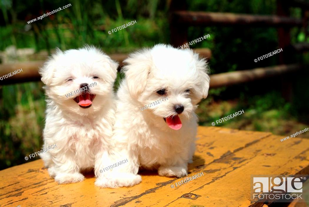 Stock Photo: cute, domestic, loving, puppy, canines, maltese.