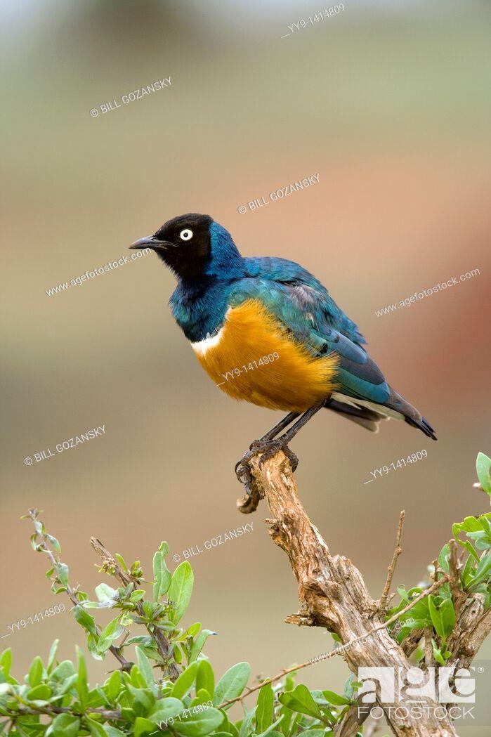 Stock Photo: Superb Starling - Taita Hills, Kenya.