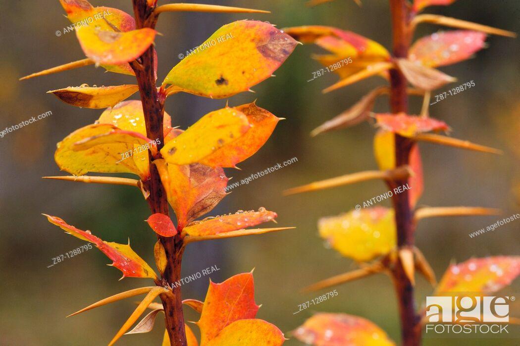 Stock Photo: European barberry (Berberis vulgaris). Parque Natural del Alto Tajo, Guadalajara province, Spain.