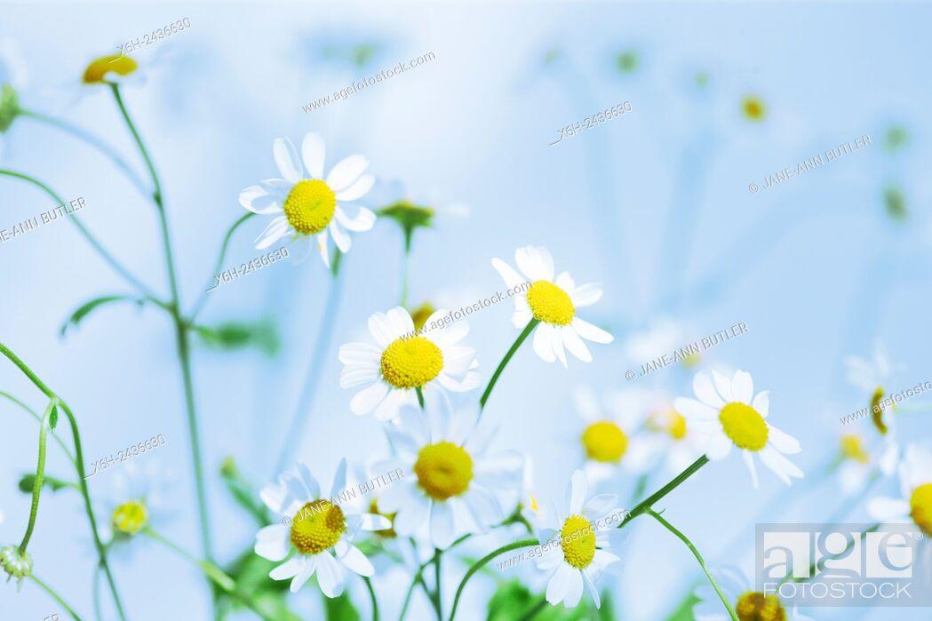 Stock Photo: atmospheric feverfew, charming daisy-like tansy.
