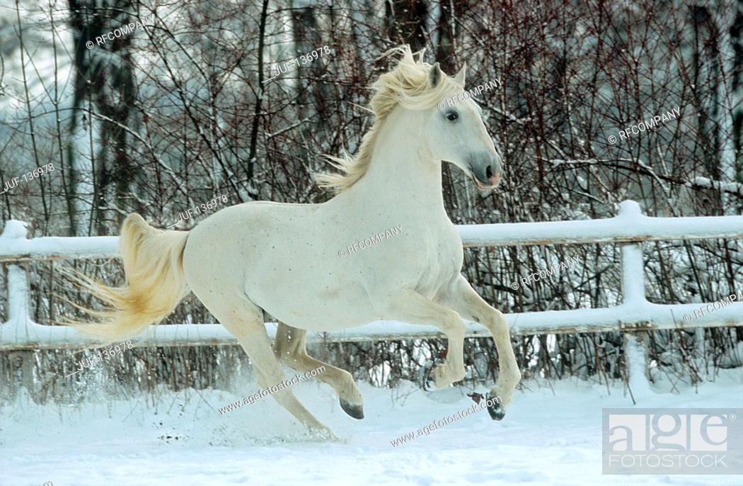 Stock Photo: Kladruber - galloping in snow.