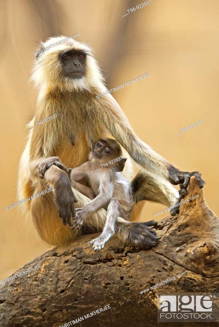 Stock Photo: Mother feeding infant langur.