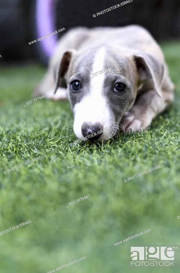 Stock Photo: pedigree Whippet puppy on the grass.