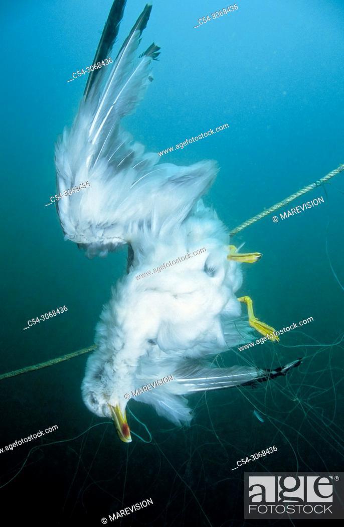 Stock Photo: Gull. Yellow-legged gull (Larus michahellis) trapped in a net. Eastern Atlantic. Galicia. Spain. Europe.