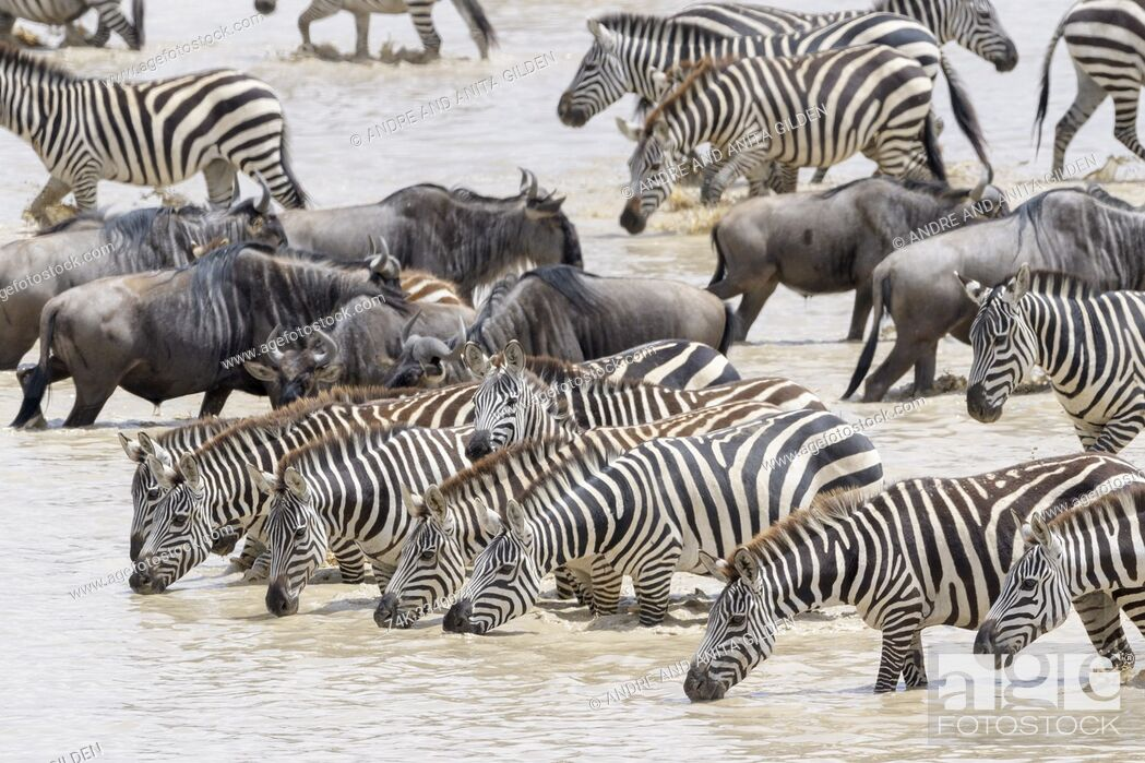 Imagen: Common or Plains Zebra (Equus quagga) herd, drinking water with during the great migration, Ngorongoro crater national park, Tanzania.