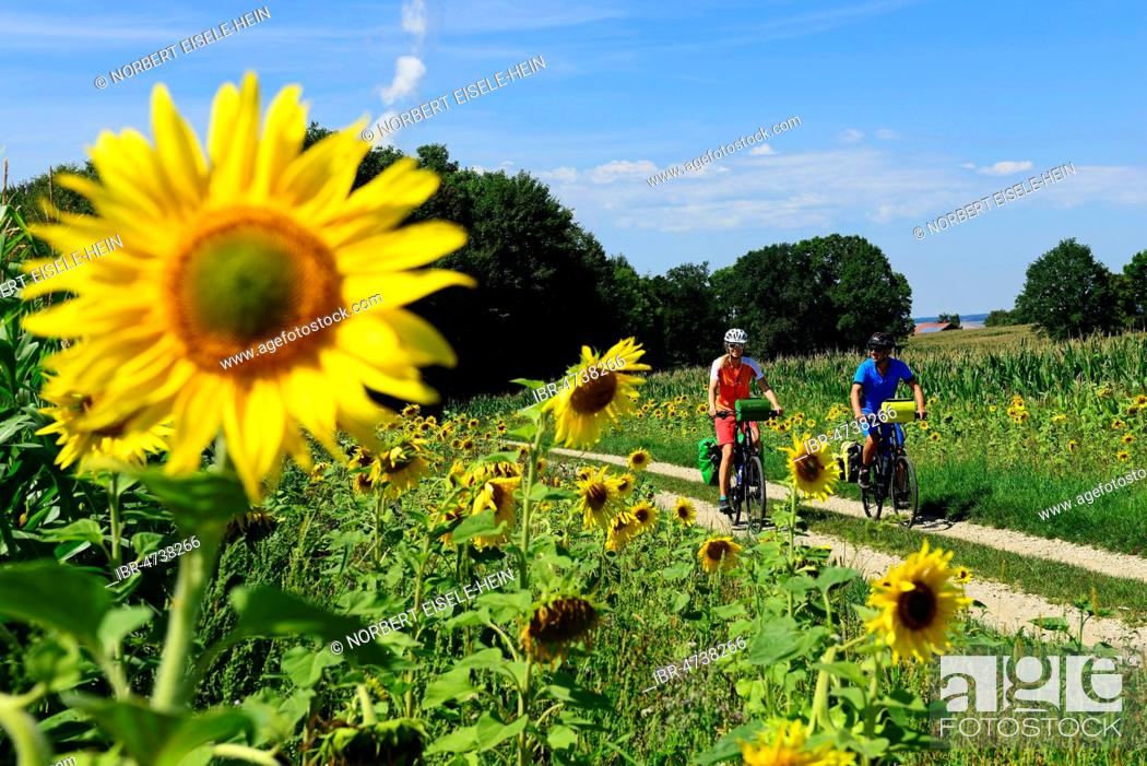 Stock Photo: Cyclists in sunflower field at Niederaichbach, Eastern Bavaria, Lower Bavaria, Bavaria, Germany.