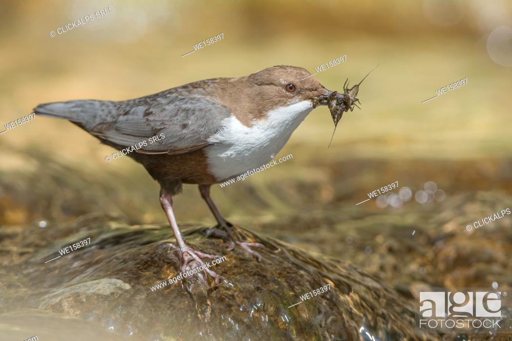Stock Photo: white-throated dipper in the river with cue, Trentino Alto-Adige, Italy.