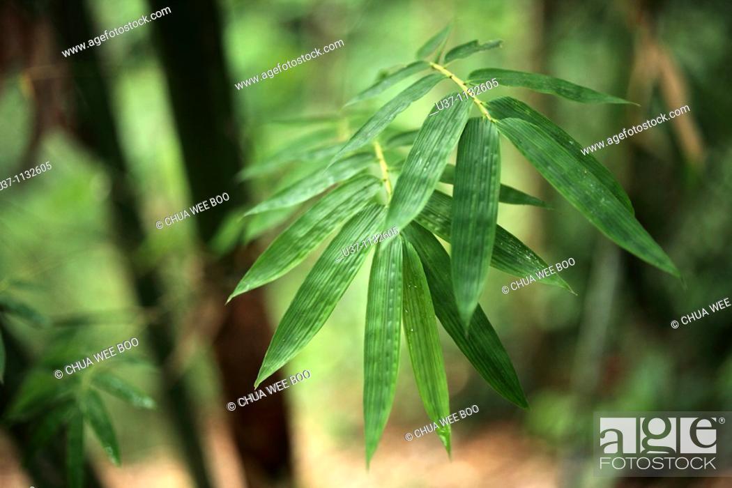 Stock Photo: Bamboo leaf, Asia.
