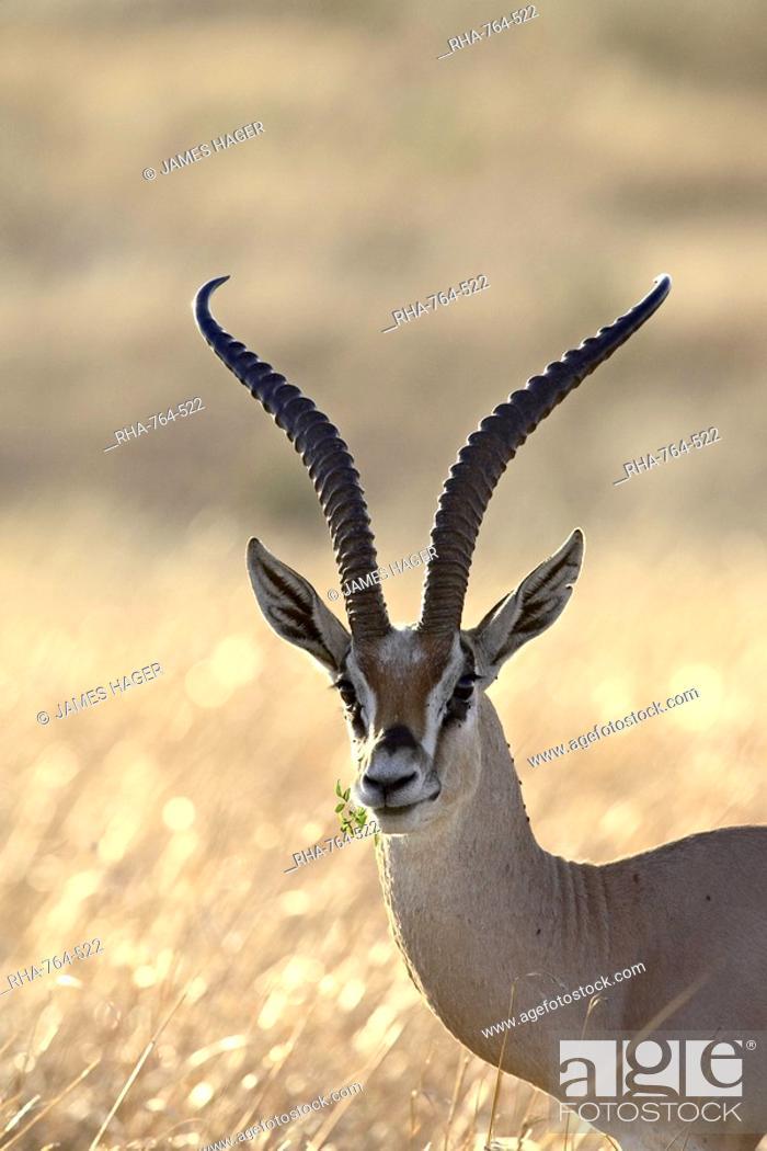Stock Photo: Grant's Gazelle Gazella granti, Masai Mara National Reserve, Kenya, East Africa, Africa.