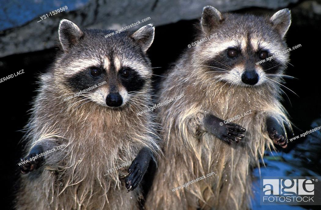 Stock Photo: Raccoon, procyon lotor, Adults standing on Hind Legs.