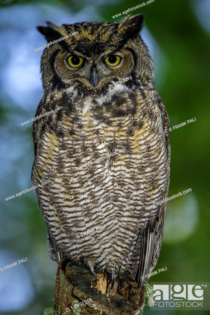 Stock Photo: Great Horned Owl ( Bubo virginianus ) perched on tree limb in the coastal forest of British Columbia.