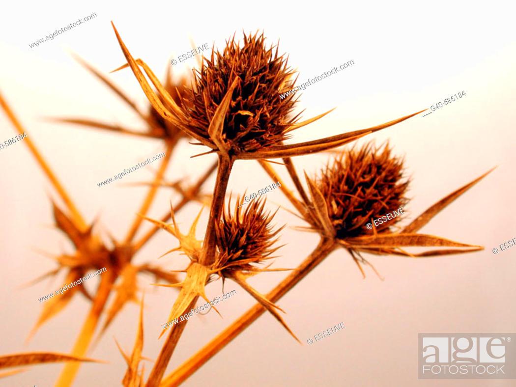 Stock Photo: Eryngium bourgatii.