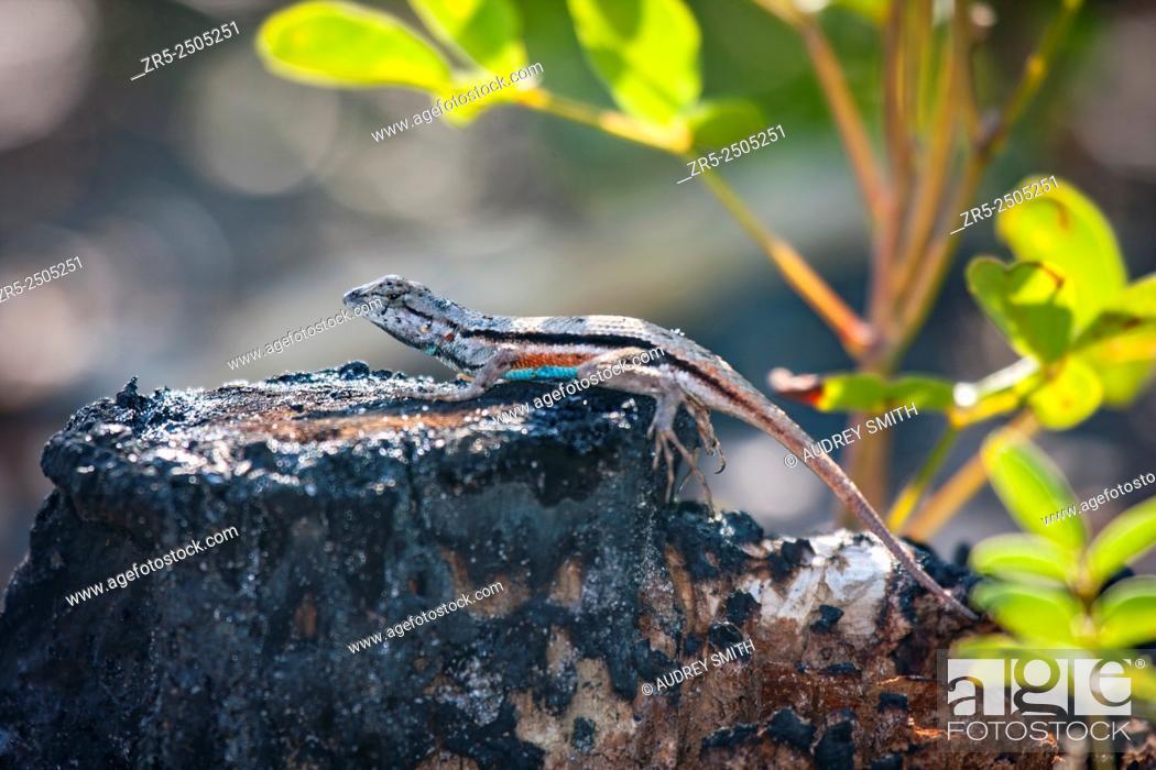 Stock Photo: A colorful male Florida scrub lizard (Sceloporus woodi) basks on a burned tree stump; Florida, USA.