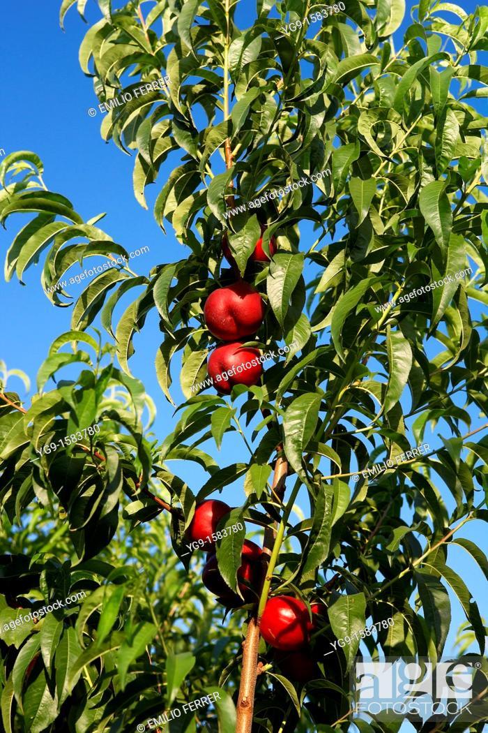 Stock Photo: Nectarines on a tree  LLeida  Spain.