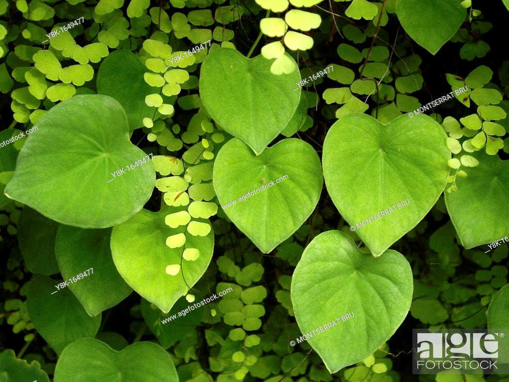 Stock Photo: Green heart shaped leaves and ferns closeup.