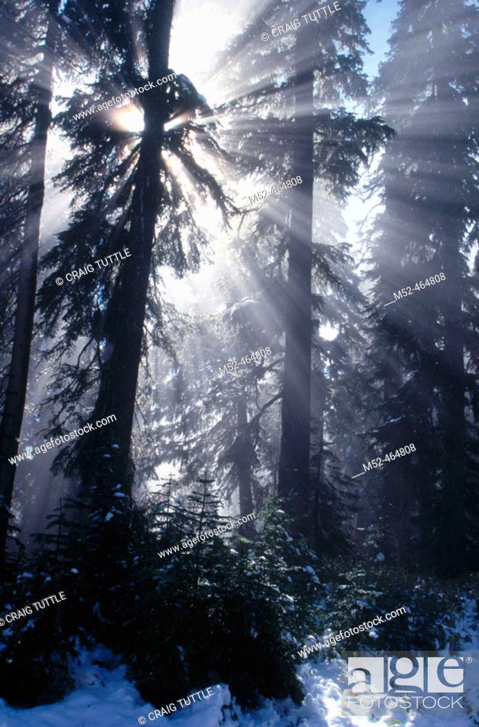 Stock Photo: Sun rays thorugh trees, Mt. Rainier. Washington, USA.