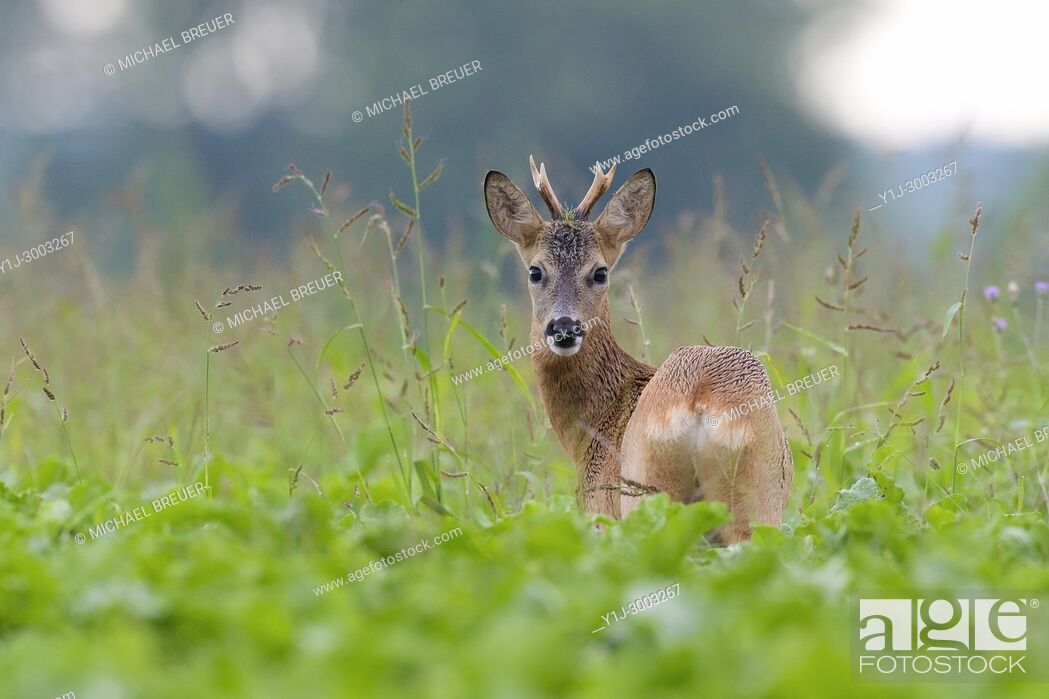 Stock Photo: Western Roe Deer (Capreolus capreolus) in Summer, Roebuck, Hesse, Germany, Europe.